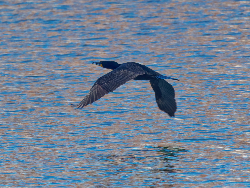 Double-crested cormorant over shinny water by rminer