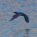 Double-crested cormorant over shinny water