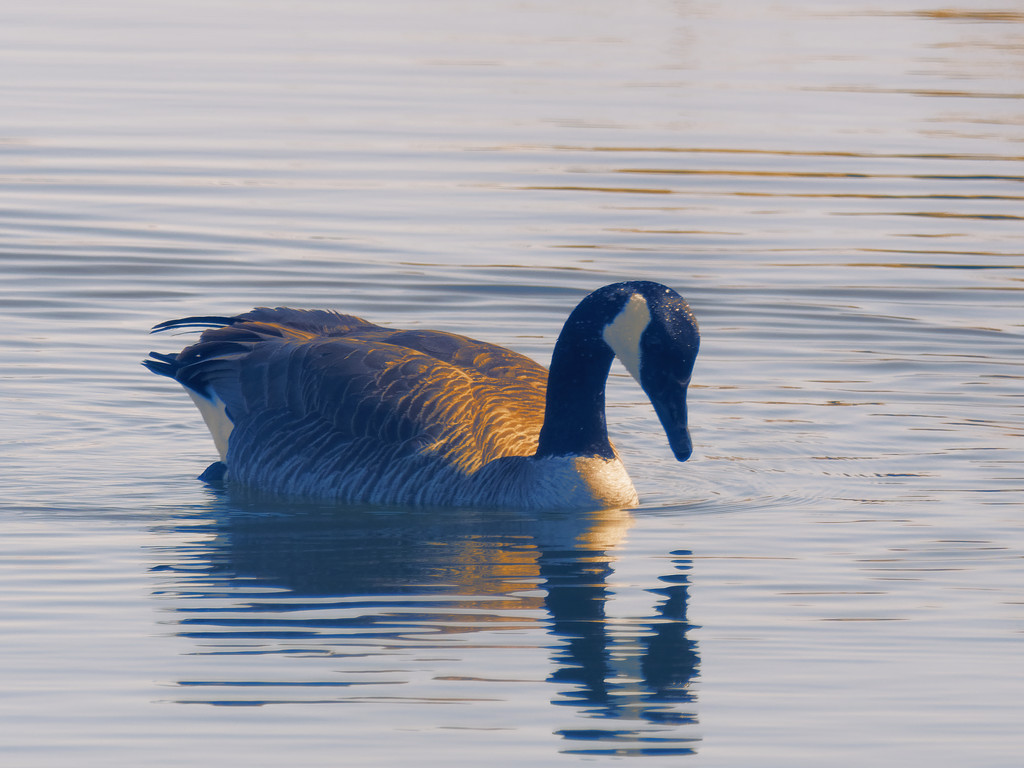sepia goose by rminer