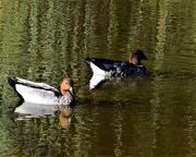 16th Apr 2019 - Two Ducks ~
