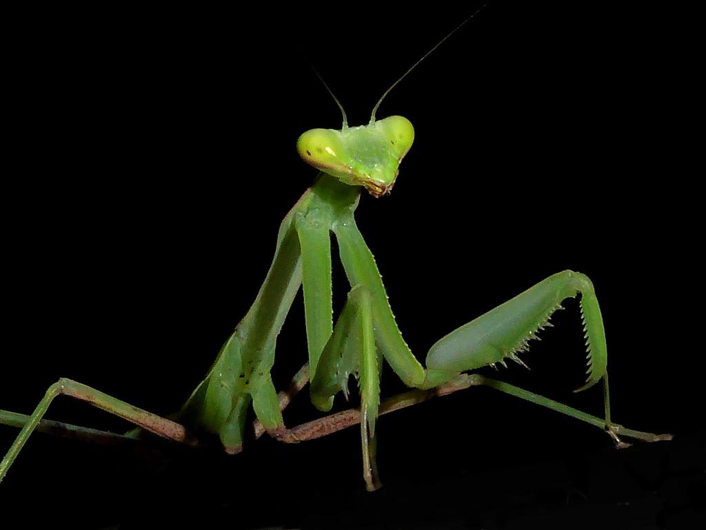 Praying Mantis by gaf005