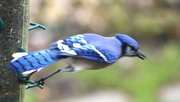 13th Apr 2019 - Blue Jay taking off