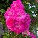 Roses, Colonial Lake Park, Charleston