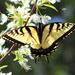 Swallowtail by cjwhite