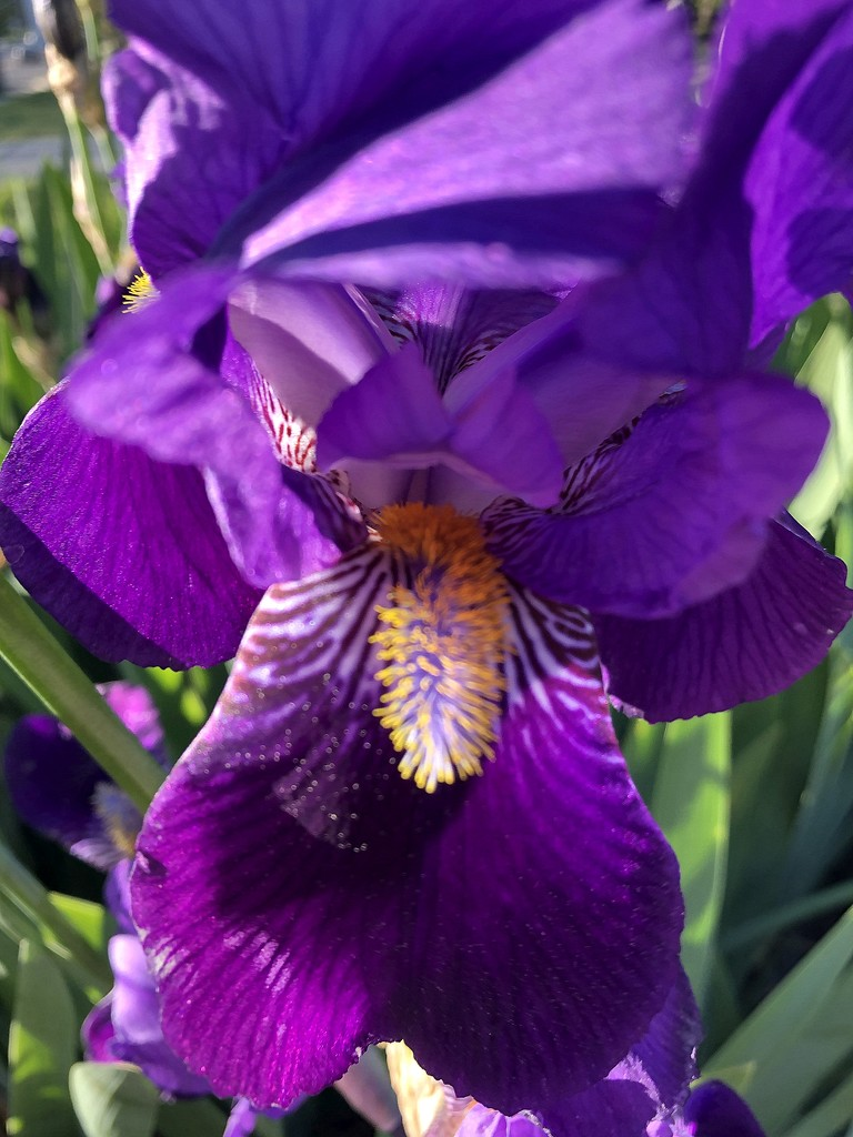 Pretty purple iris by homeschoolmom