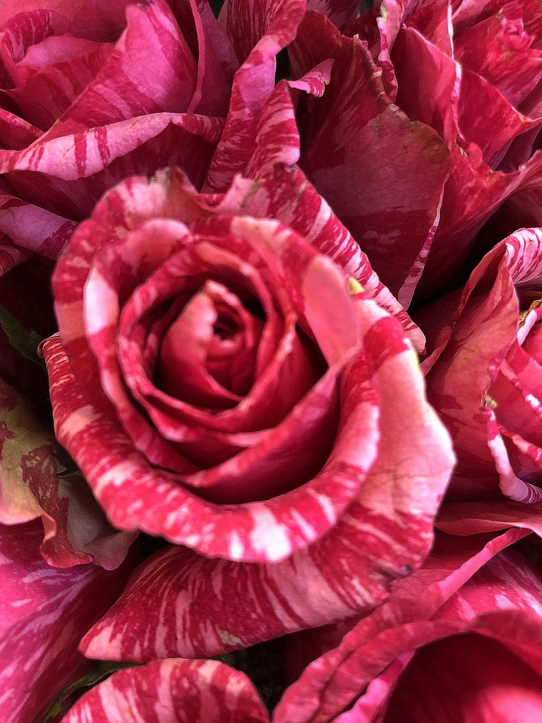 Pink striped rose by homeschoolmom