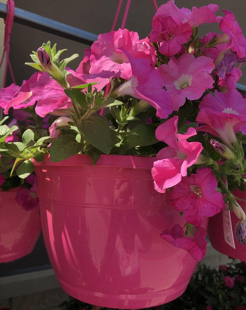 Pink petunia basket by homeschoolmom