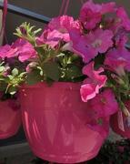 15th Apr 2019 - Pink petunia basket