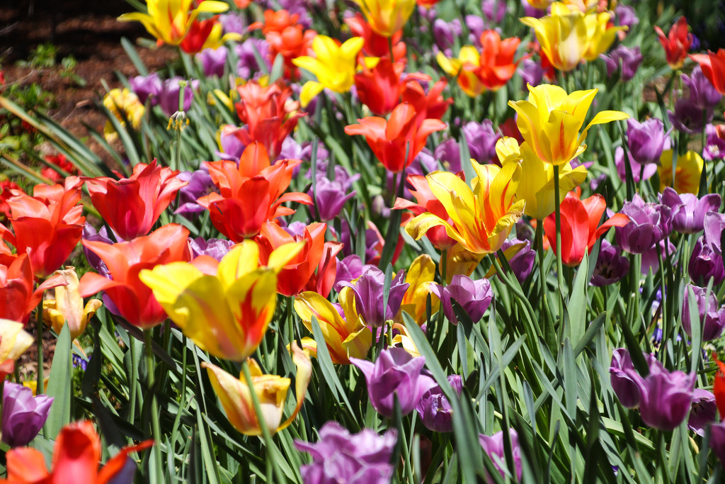 Tulips by judyc57