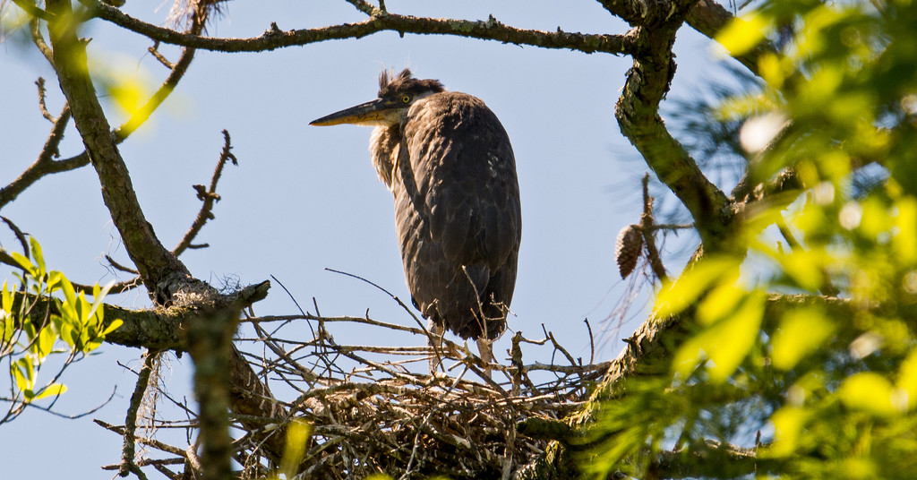 Baby Blue Heron, Probably Soon To Leave the Nest! by rickster549