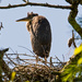 Baby Blue Heron, Probably Soon To Leave the Nest!