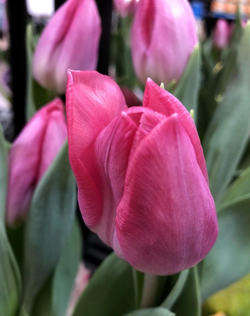 Pink tulip by homeschoolmom