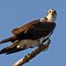 Mr Osprey Keeping Watch!