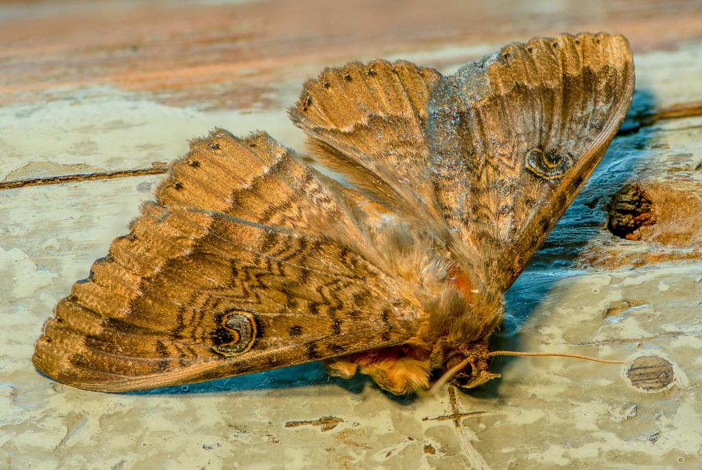 Northern Wattle Moth by yorkshirekiwi