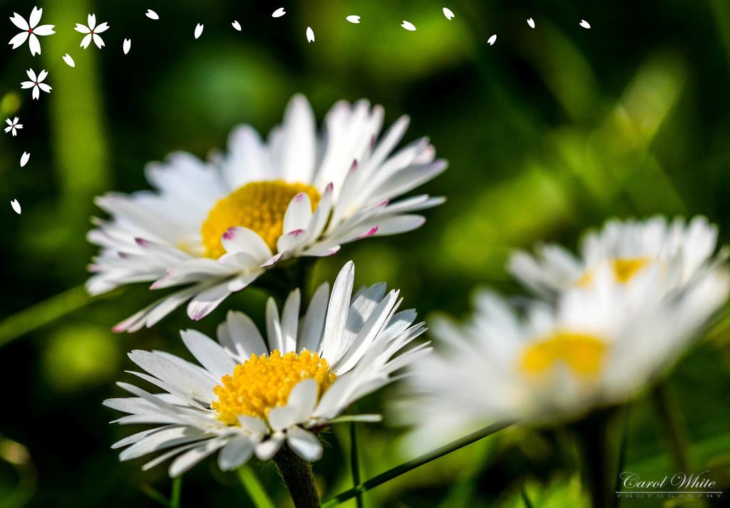 Daisies by carolmw