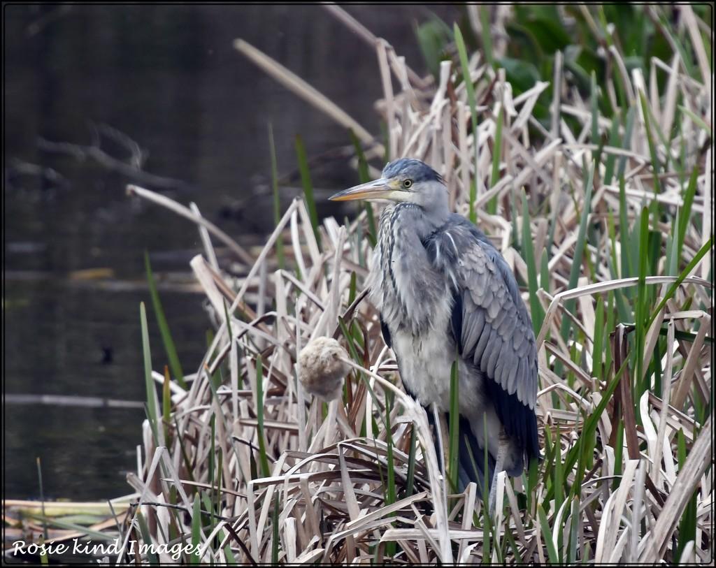 Heron at Priory by rosiekind