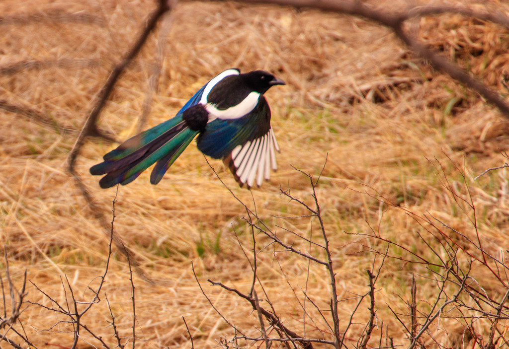 magpie! by aecasey