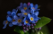 16th Apr 2019 - Forget Me Not