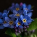 Forget Me Not by tonygig