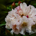 Focus Stacked Rhody After Rain