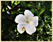 17th Apr 2019 - White Hibiscus ~