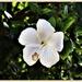 White Hibiscus ~