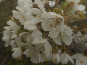16th Apr 2019 - blossom