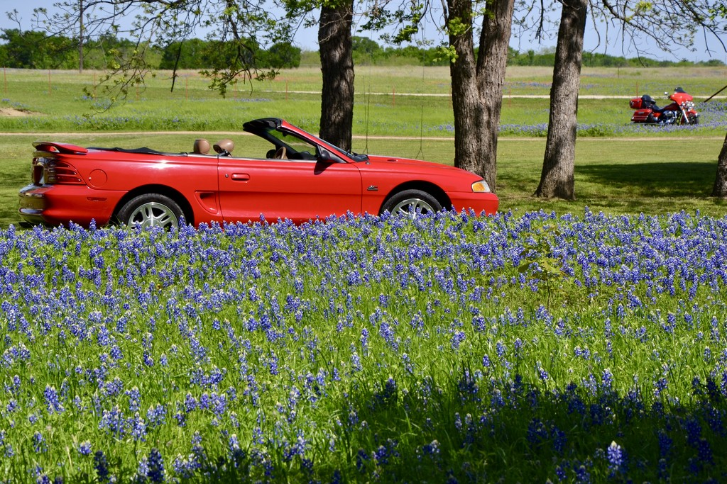 If I had a new red Mustang and a red motorcycle, I would show them off in my ranch's Bluebonnet field too! by louannwarren