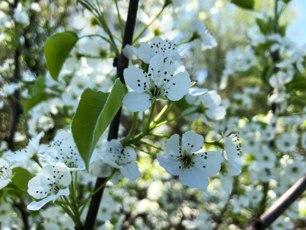 More Blosssoms by loweygrace