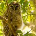 Baby Barred Owl, Playing Hard to Find!