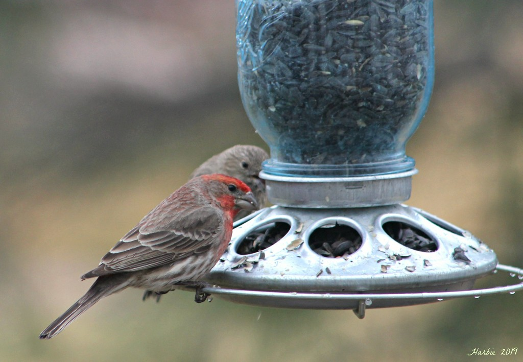 House Finches by harbie