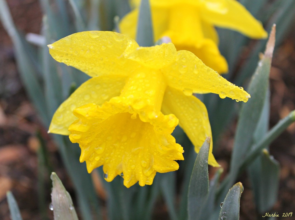 Dewy Daffodil by harbie