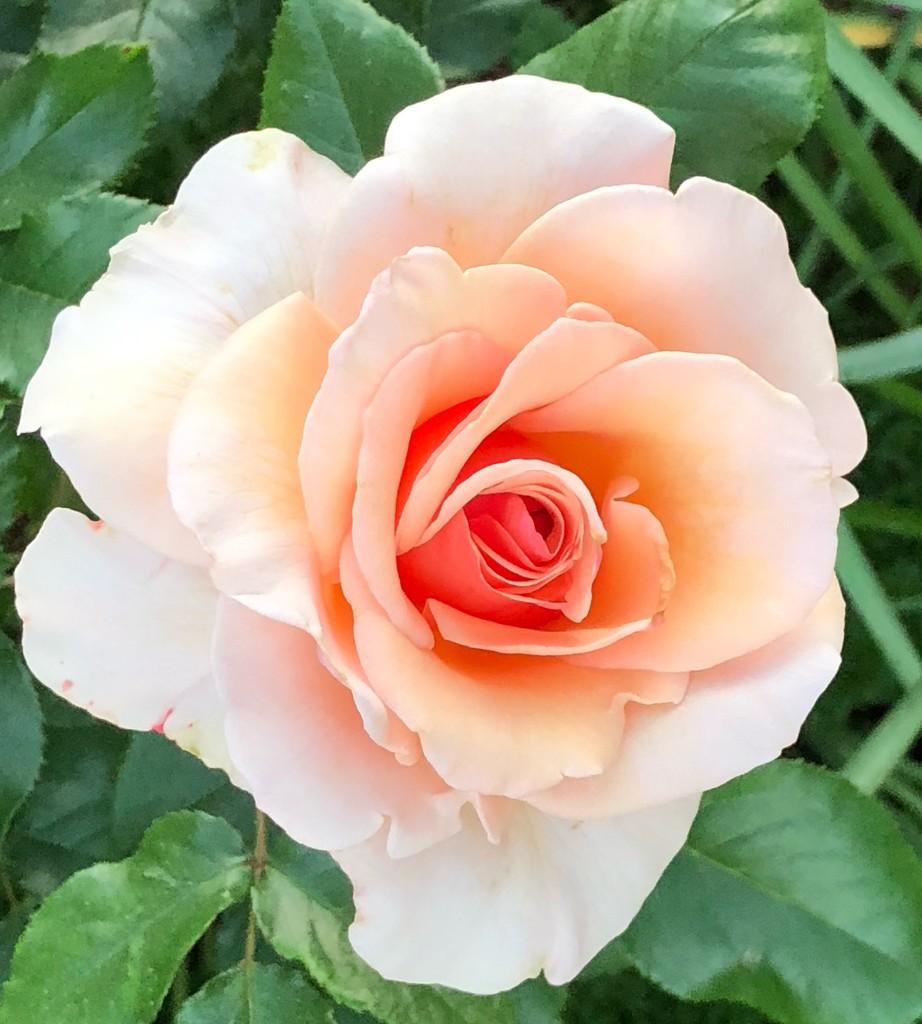 Rose, Hampton Park, Charleston  by congaree