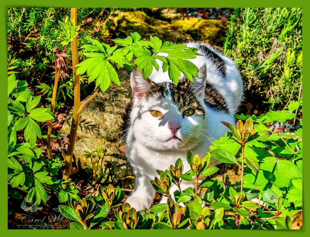 Merlin Sunning Himself In The Garden by carolmw