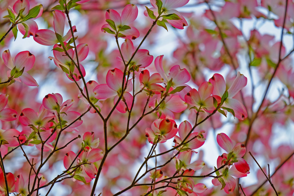 Pink Dogwood by soboy5
