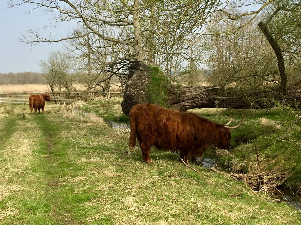 Highland Cows by gillian1912