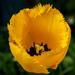 Single Tulip.