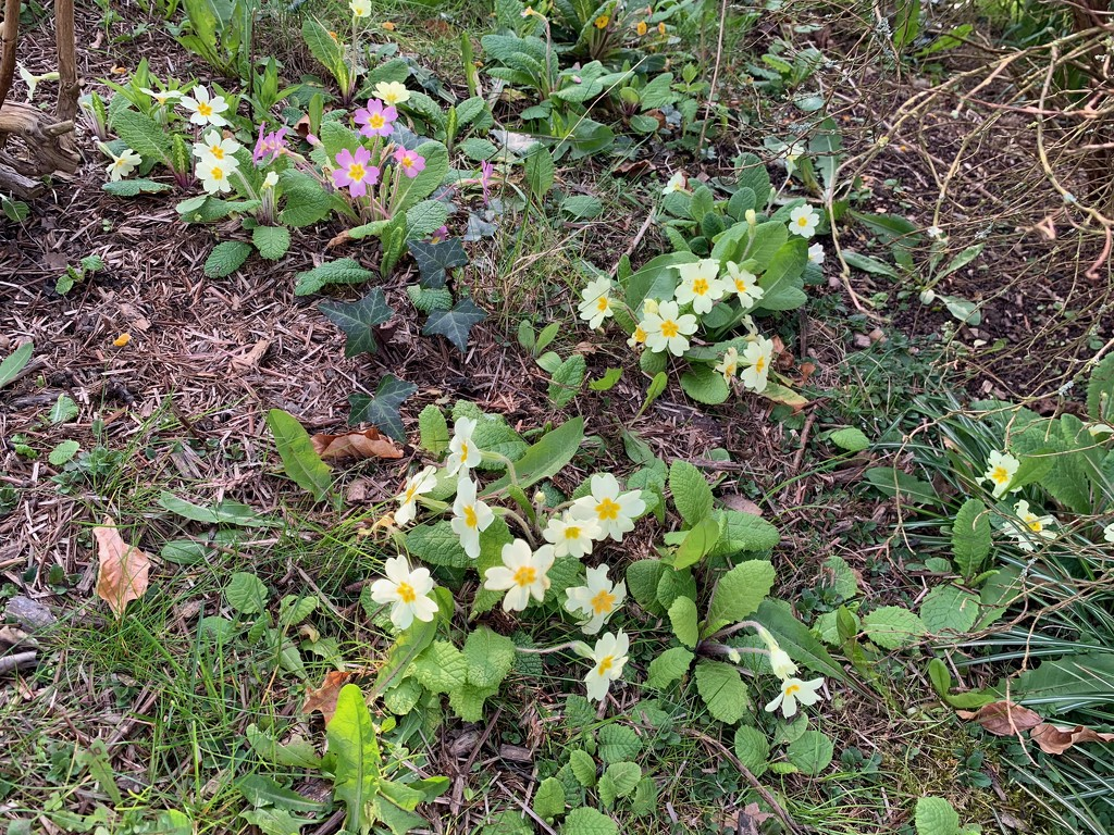 Primroses by 365projectmaxine