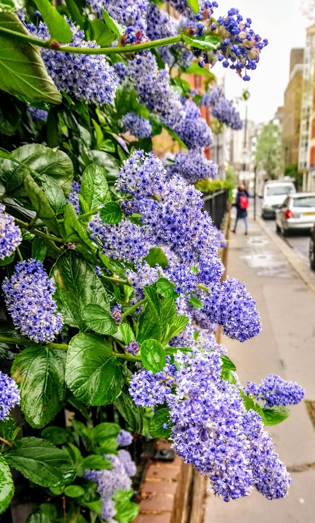 First ceanothus by boxplayer