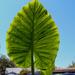 Giant Leaf