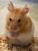 17th Apr 2019 - Hammie the Hamster