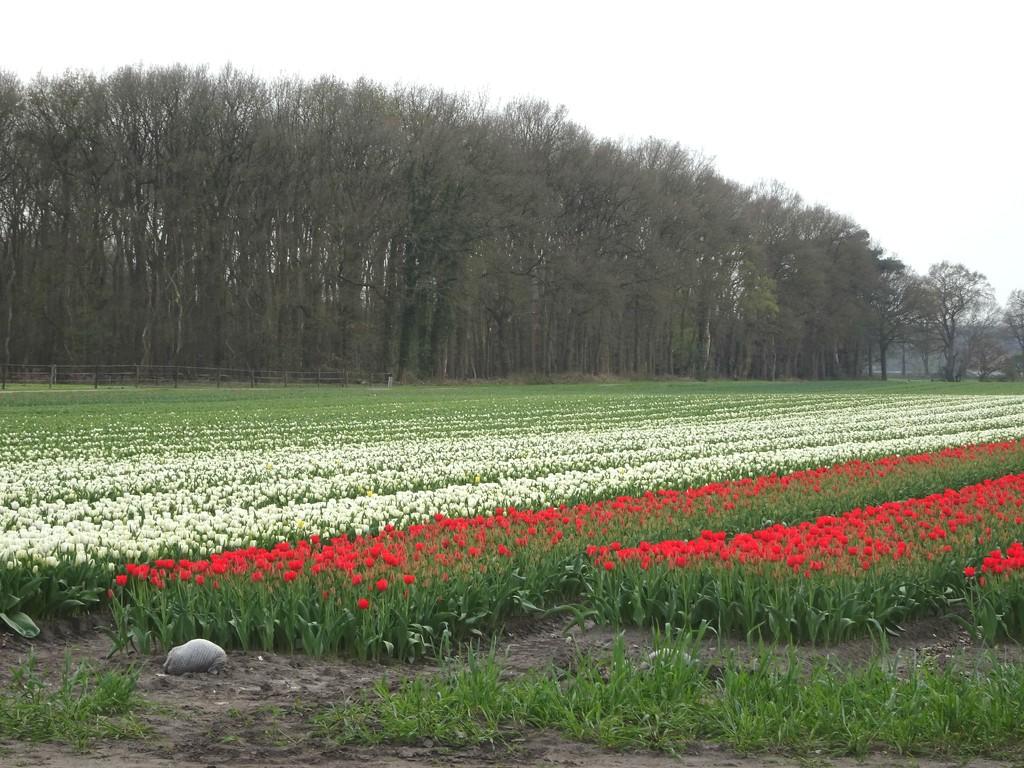 tulip fields by gijsje