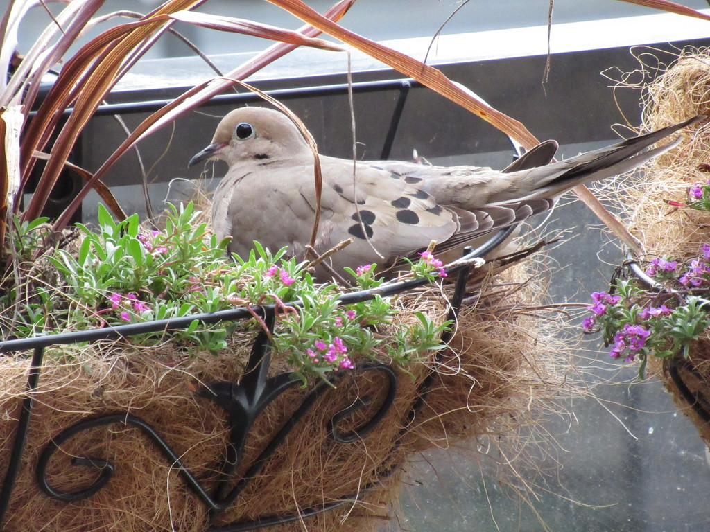 Nesting in the Flower Box by granagringa