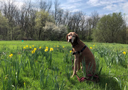 17th Apr 2019 -  Lucy and Daffodils