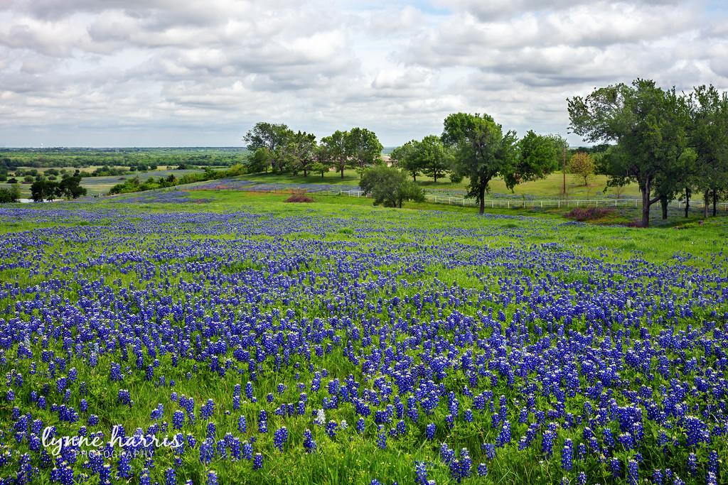 Texas Bluebonnets by lynne5477