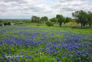 17th Apr 2019 - Texas Bluebonnets