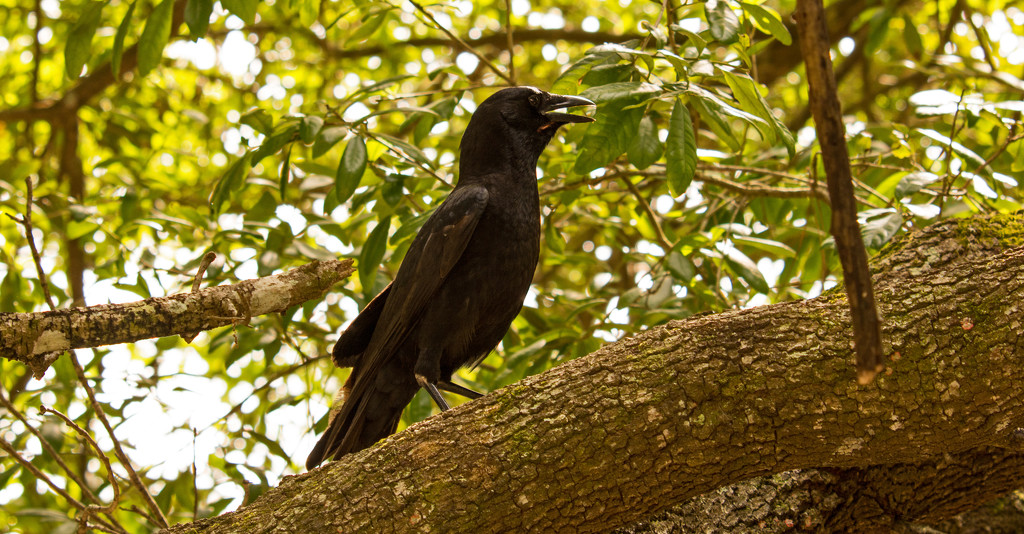 The Crows Were Out! by rickster549