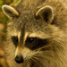 Mrs Rocky Raccoon!