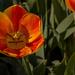 TulipBlooms