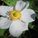 Anemonidium catheyense